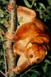 Perodicticus potto of central Africa.