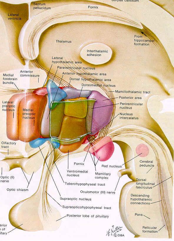 adrenal cortex hormones steroids